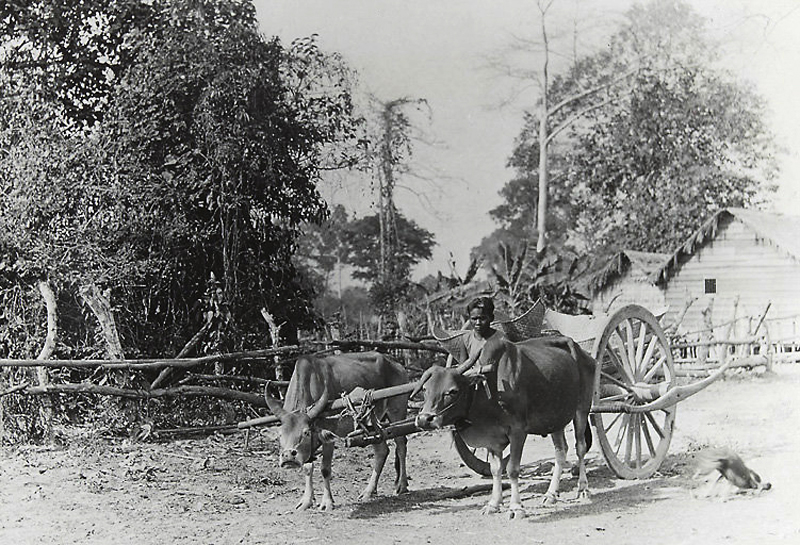 Ox Cart - Village life around Angkor Wat