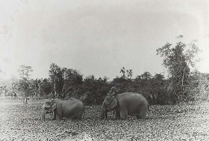 Elephants wading through a marsh