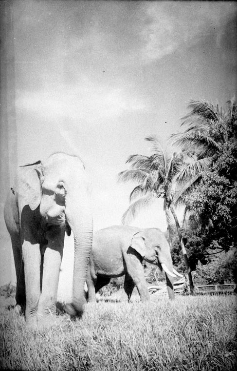 Elephants in Cambodia