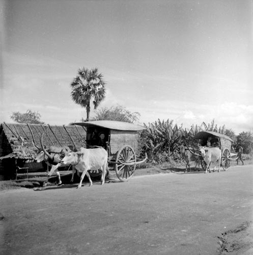 Historic oxcart picture