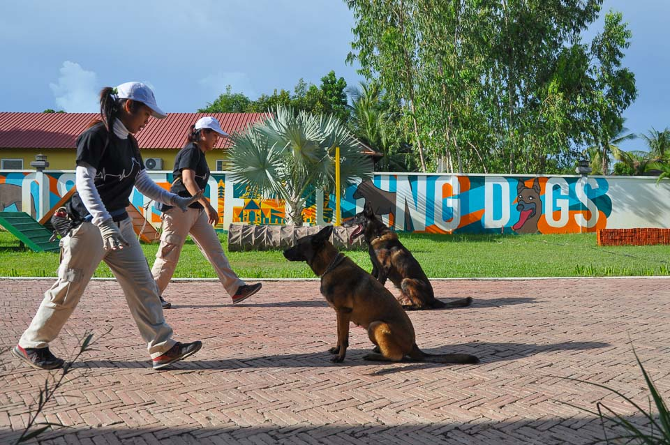 Siem Reap Explosive Detection Dog Show - synchronized obedience test
